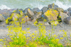 Flowers growing on a dike of basalt stones in sunlight. In summer Royalty Free Stock Photos