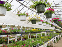 Flowers growing in foil hothouse of garden center Royalty Free Stock Image