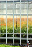 Flowers growing in greenhouse. Orange flowers growing in greenhouse with heating pipes to maintain optimum  growing temperature. An automated  watering system Royalty Free Stock Photography