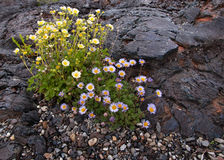 Flowers growing on lava in Craters of the Moon Stock Photos
