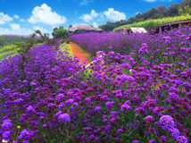 Flowers Growing on the Mountain. The path way along violet flowers to the midst of mountains Royalty Free Stock Photo