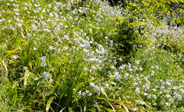 Flowers growing over a hill of grasses. Little white flowers growing over a hill of grasses Royalty Free Stock Photos