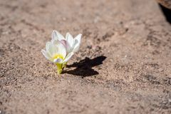 Flowers growing from the rock in Bolivia Royalty Free Stock Images
