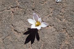 Flowers growing from the rock in Bolivia Royalty Free Stock Photos