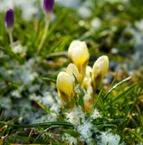 Spring Flowers Growing in Snow Stock Photo