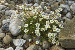 Flowers growing between the stones Royalty Free Stock Photo