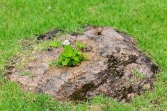 Flowers growing through stump Royalty Free Stock Photo