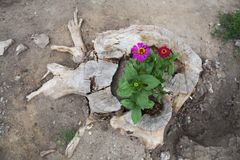 Flowers growing in  tree stump Royalty Free Stock Photography