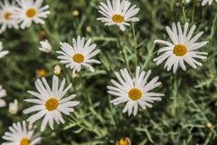 Flowers grown in Antioquia - Bellis perennis stock image
