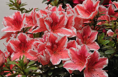 Flowers grown in nurseries Stock Image
