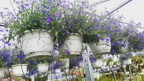 Flowers in hanging baskets. Purple flowers in hanging baskets at a flower market stock photography