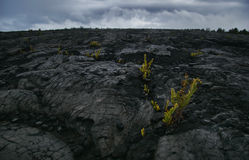 Flowers in a hard lava Stock Image
