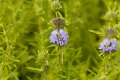 Flowers of a Harts pennyroyal Royalty Free Stock Image