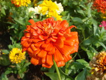 The flowers have a common color for a getaway. Zinnia Stock Images