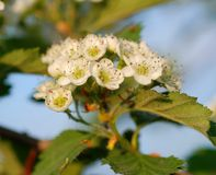 Flowers of hawthorn. Macro Stock Images