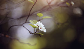 Flowers of a hawthorn on the semi-dried-up branch. Royalty Free Stock Photos