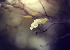 Flowers of a hawthorn on the semi-dried-up branch. Stock Images