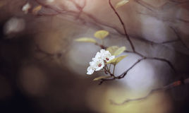 Flowers of a hawthorn on the semi-dried-up branch. Stock Photos