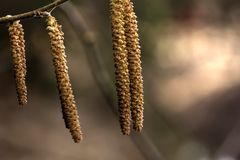 The flowers of hazel. Spring. Stock Image