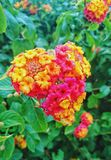 Flowers of the heart. Beautiful colorful heart-shaped flowers in the garden stock images