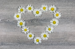 Flowers of heart-shaped daisies Royalty Free Stock Photo