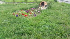 The flowers are heart-shaped, next to the basket sits a homeless brown white dog stock video