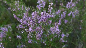 Flowers of heather stock video