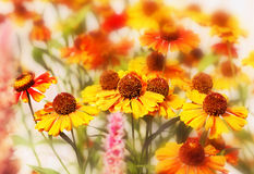 Flowers of helenium Stock Photo