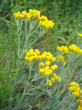 Flowers of helichrysum arenarium Stock Photos