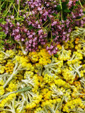 Flowers of helichrysum arenarium and flowers oregano bushes closeup. Bright flower background. Royalty Free Stock Images