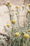 Flowers of Helichrysum stoechas Stock Images