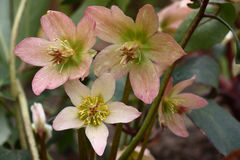 Flowers helleborus. Petals of flowers of a helleborus black are painted in pink and green tone Stock Photo