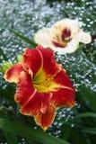Flowers of a hemerocallis and gypsophila. Stock Photo