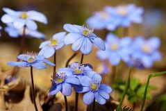 Flowers of hepatica nobilis Royalty Free Stock Images