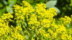 Flowers of herb barbara, bittercress, or Barbarea vulgaris macro background, selective focus, shallow DOF stock photos