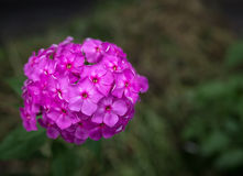 Flowers of Hesperis Matronalis. Royalty Free Stock Photo