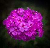 Flowers of Hesperis Matronalis. Stock Images