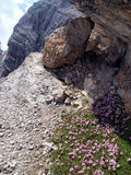 Flowers in the high rocky mountains, the Brenta Dolomites Royalty Free Stock Photos