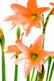 Flowers Hippeastrum Stock Image