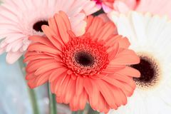 Flowers holiday gerber background Royalty Free Stock Image