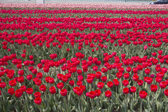 Flowers in Holland Stock Photos