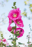 Flowers Holly Hock Stock Photography