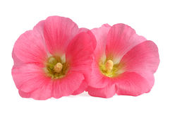 Flowers of hollyhocks. On white background Royalty Free Stock Photos