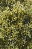 Flowers of holm oak (quercus ilex) tree. Close up view of the flowers of the holm oak (quercus ilex) tree Stock Photography