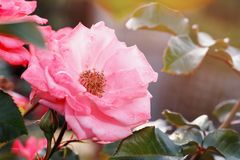 Flowers from the home garden. Mature rose. Closeup royalty free stock image