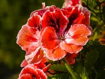 Flowers home room geraniums pelargonium. This flower remains the most popular home plant for many years stock image