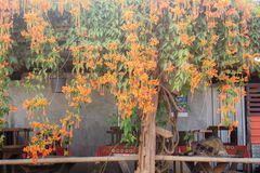 Flowers at home stay. Orange flowers of countryside at home stay stock images