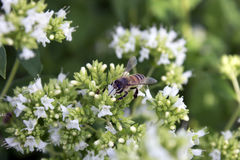 Flowers and honeybee. Decorative onion flowers and honeybee royalty free stock photography