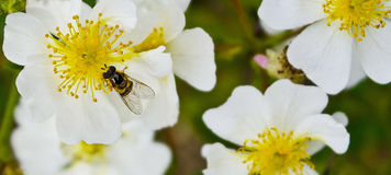 flowers with honeybee Royalty Free Stock Images