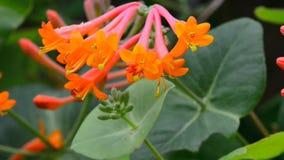 Flowers Honeysuckle Brown stock video footage
